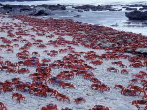 Masses of Christmas Island Red Crabs Spawning on the Beach by Jurgen Freund