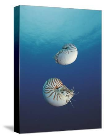 Pearly Nautilus, Sulu-Sulawesi Seas, Indo-Pacific, Fills Shell to Sink and Expells Water to Rise