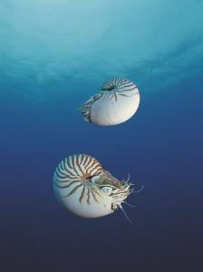 Pearly Nautilus, Sulu-Sulawesi Seas, Indo-Pacific, Fills Shell to Sink and Expells Water to Rise by Jurgen Freund