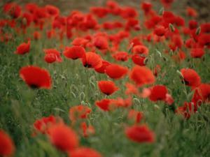 Poppy Field (Papaver Rhoeas), Germany, Europe by Jurgen Freund