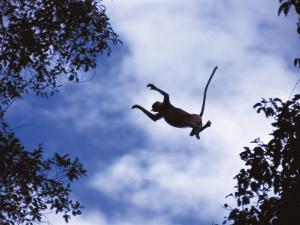 Proboscis Monkey Leaping from Tree, Borneo, Indonesia by Jurgen Freund