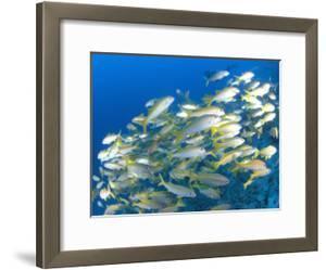 Schooling Bigeye Snappers, Great Barrier Reef, Australia by Jurgen Freund