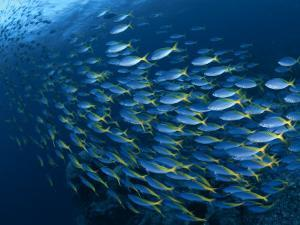 Schooling Blue and Gold Fusilers, Indo-Pacific by Jurgen Freund