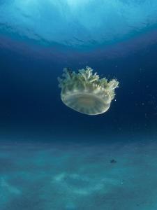 Upsidedown Jellyfish (Cassiopeia Sp) Caribbean by Jurgen Freund