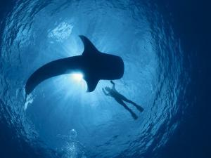 Whale Shark and Person Swimming in Silhouette, Indo Pacific by Jurgen Freund