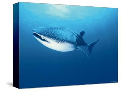 Whale Shark, Indo Pacific