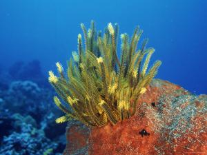 Yellow Featherstars on Sponge, Indo-Pacific by Jurgen Freund