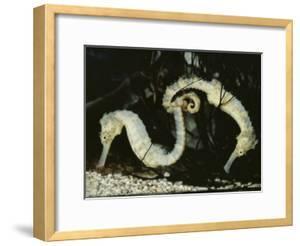 Yellow Seahorses (Hippocampus Guttulatus) Mediterranean by Jurgen Freund