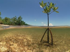 Young Mangrove Tree Sapling Split-Level Shot, Caribbean by Jurgen Freund
