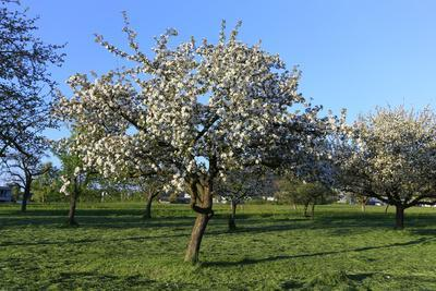 Apple-Trees in Bloom