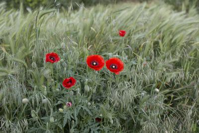 Poppies in Grain Field