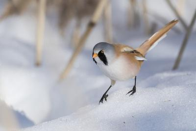 Bearded reedling / tit (Panurus biarmicus), male in snow, Finland, March