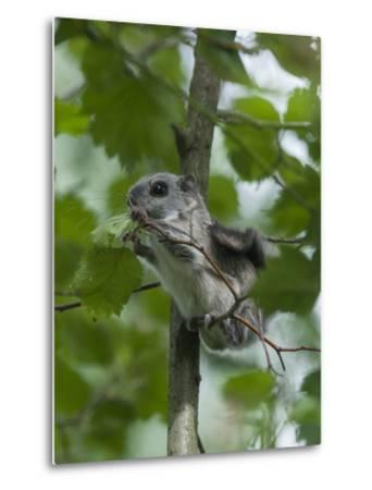 Siberian Flying Squirrel (Pteromys Volans) Baby Feeding On Leaves, Central Finland, June