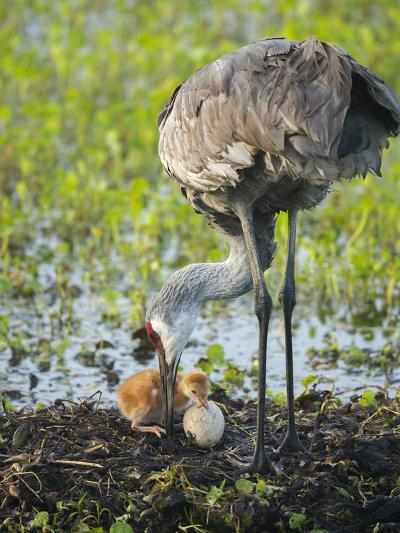 Just Hatched, Sandhill Crane First Colt with Food in Beak, Florida-Maresa Pryor-Photographic Print