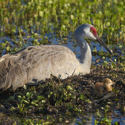 Just Hatched, Sandhill Crane on Nest with First Colt, Florida-Maresa Pryor-Photographic Print