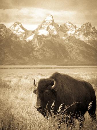 Bison in Grand Teton National Park Wyoming