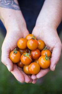 Farmers Hands Holding Tomatoes by Justin Bailie