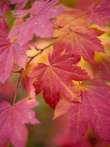 Image of Maple Tree in Fall. by Justin Bailie