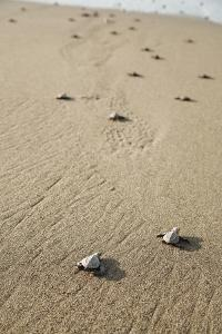 Just Hatched Baby Olive Ridley (Golfina) Turtles In Michoacan, Mexico by Justin Bailie