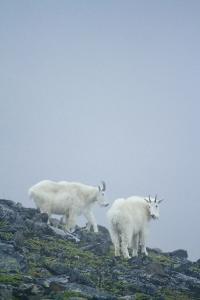 Mountain Goats On Mt. Rainier National Park, WA by Justin Bailie