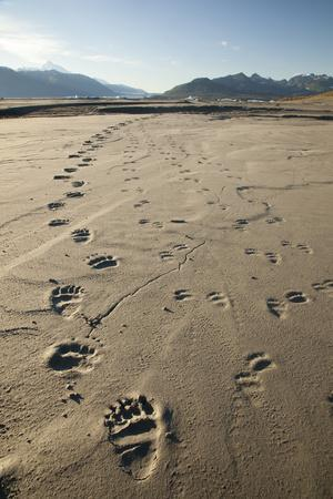 Tracks of a Grizzly Bear Family in the Mud Flats of Alsek Lake in Glacier Bay National Park, Alaska
