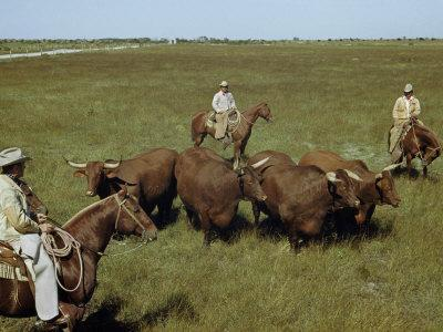 Rancher and Cowboys Inspect Grass-Fattened Steers