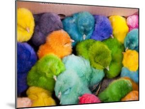 Little Colorful Chicks to Sell as Pets for Easter, Fes, Morocco by Jutta Riegel