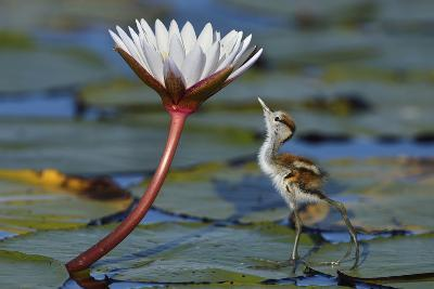 Juvenile African Jacana (Actophilornis Africana) Looking At Insect On Flower, Chobe River, Botswana-Lou Coetzer-Photographic Print