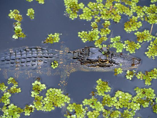 Juvenile Alligator in Swampland (Bayou) at Jean Lafitte National Historical Park and Preserve, USA-Robert Francis-Photographic Print