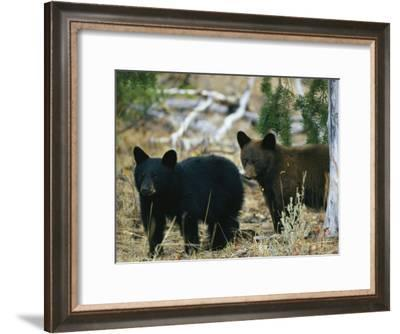 Juvenile American Black Bears-Michael S^ Quinton-Framed Photographic Print