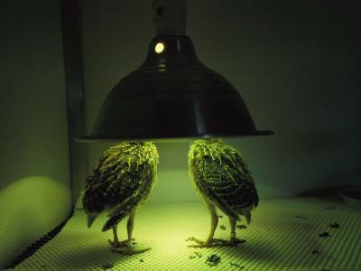 Juvenile Attwaters Greater Prairie-Chickens under a Heating Lamp-Joel Sartore-Photographic Print