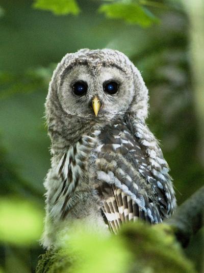 Juvenile Barred Owl, Strix Varia, Stanley Park, British Columbia, Canada-Paul Colangelo-Photographic Print