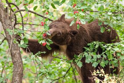 Juvenile Black Bear Eating Fruit in Missoula, Montana-James White-Photographic Print