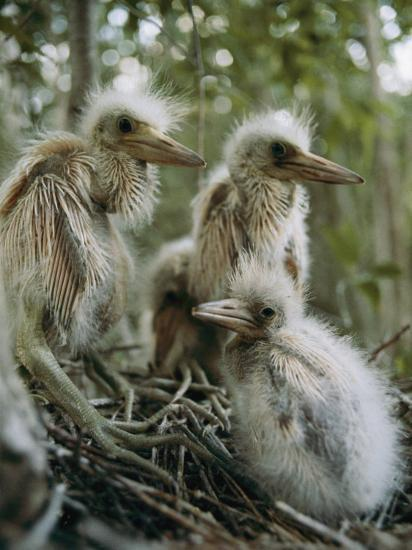 Juvenile Blue Herons in Their Nest-Sam Abell-Photographic Print
