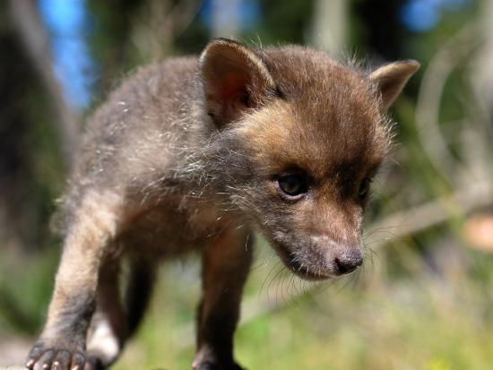 Juvenile Fox Exploring in a Forest-Brooke Whatnall-Photographic Print