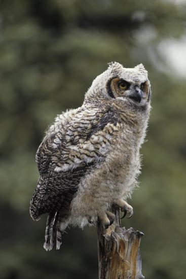 Juvenile Great Horned Owl, Alaska, USA-Gerry Reynolds-Photographic Print