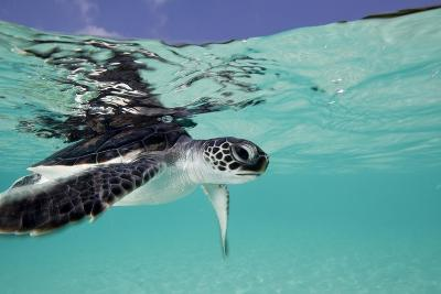 Juvenile Green Sea Turtle (Chelonia Mydas)-Stephen Frink-Photographic Print