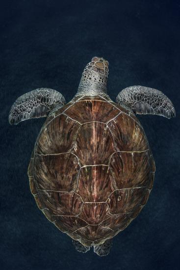 Juvenile Green Turtle (Chelonia Mydas) Armenime Cove, South Tenerife, Canary Island, Atlantic Ocean-Jordi Chias-Photographic Print