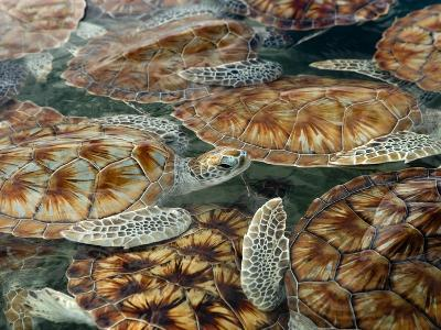 Juvenile Green Turtles in Captivity-Stephen Frink-Photographic Print