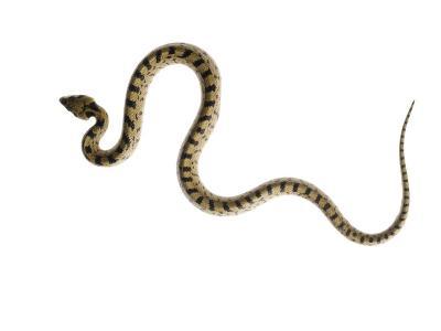 Juvenile Ladder Snake Alicante, Spain-Niall Benvie-Photographic Print