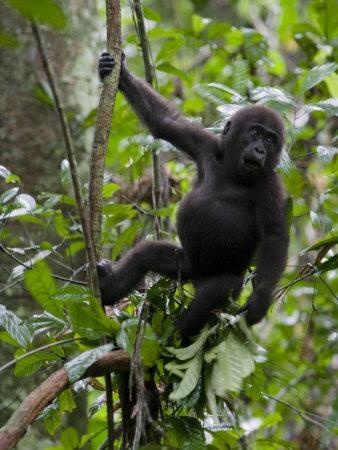 https://imgc.artprintimages.com/img/print/juvenile-male-western-lowland-gorilla-shaking-a-tree-branch_u-l-p8f1m20.jpg?p=0