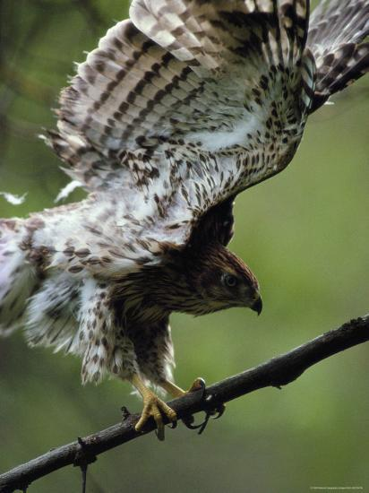 Juvenile Northern Goshawk Works Its Wings, Ready to Fly, Montana-Michael S^ Quinton-Photographic Print