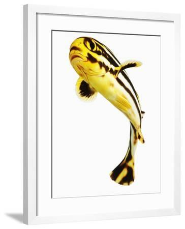 Juvenile Oriental sweetlip fish-Martin Harvey-Framed Photographic Print
