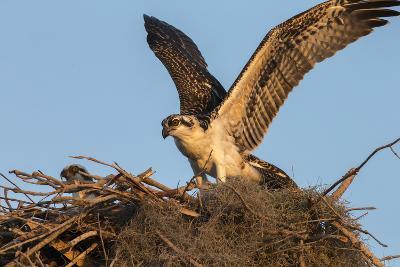 Juvenile Osprey Testing Wings, Flamingo, Everglades National Park, Florida-Maresa Pryor-Photographic Print