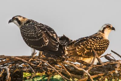Juvenile Ospreys on a Nest at Sunset on the Occoquan River in Northern Virginia-Kent Kobersteen-Photographic Print