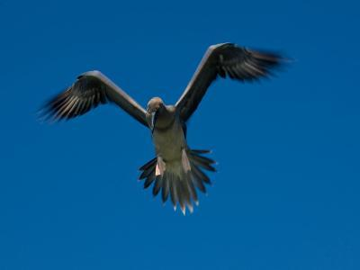 Juvenile Red-Footed Booby, Sula Sula, in Flight in a Clear Blue Sky-Beverly Joubert-Photographic Print