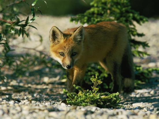Juvenile Red Fox-Norbert Rosing-Photographic Print