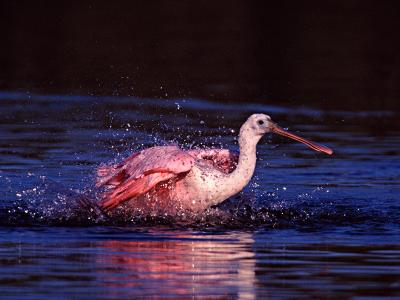Juvenile Roseate Spoonbill Bathing, Ding Darling NWR, Sanibel Island, Florida, USA-Charles Sleicher-Photographic Print