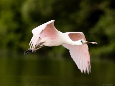 Juvenile Roseate Spoonbill in Flight, Tampa Bay, Florida-Tim Laman-Photographic Print
