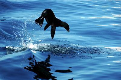 Juvenile Sea Lion in Rare Pose mid Air on the Sea of Cortez- Mavrick-Photographic Print